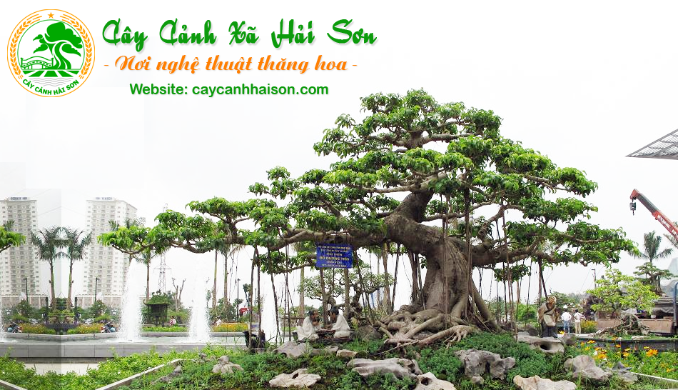 Bonsai Gốc To - Wiki